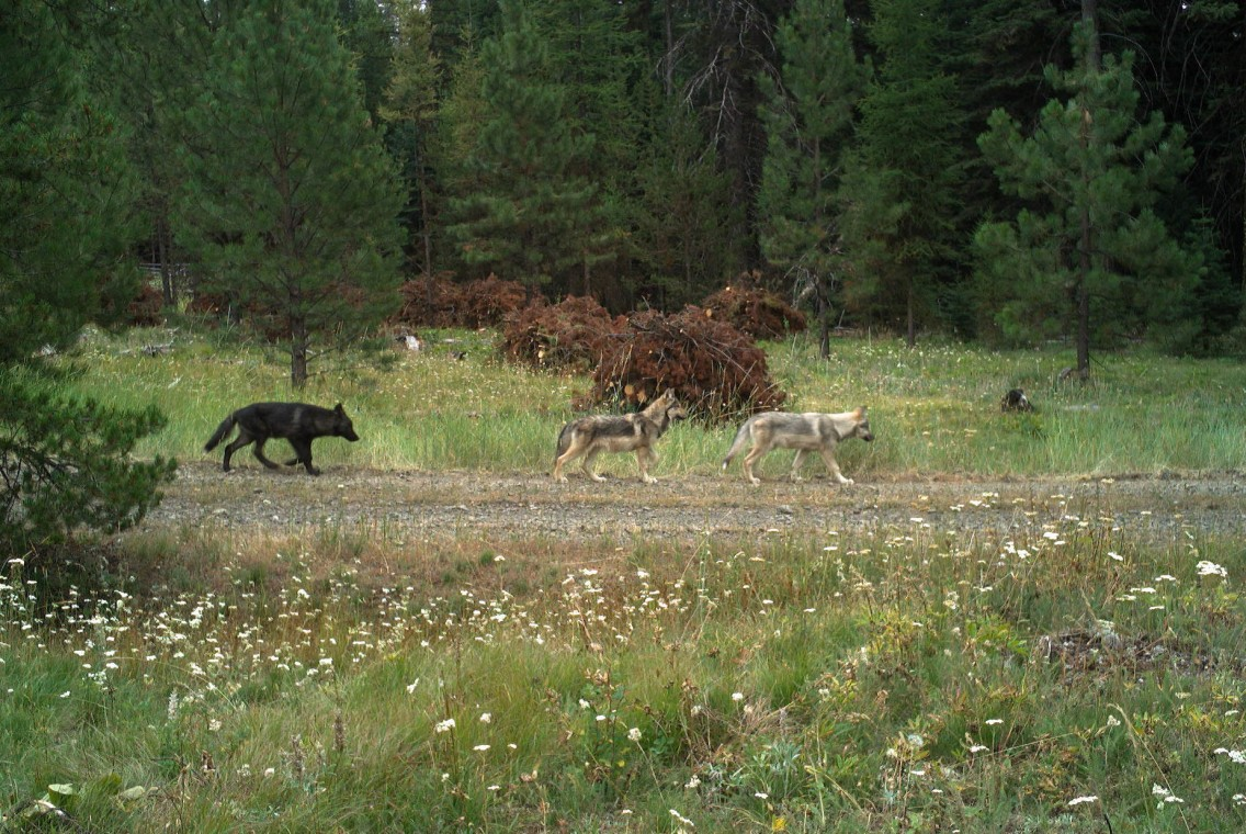 2019 - Pups from the new Fivemile Pack caught on remote camera on USFS land in Morrow County. Photo by ODFW.